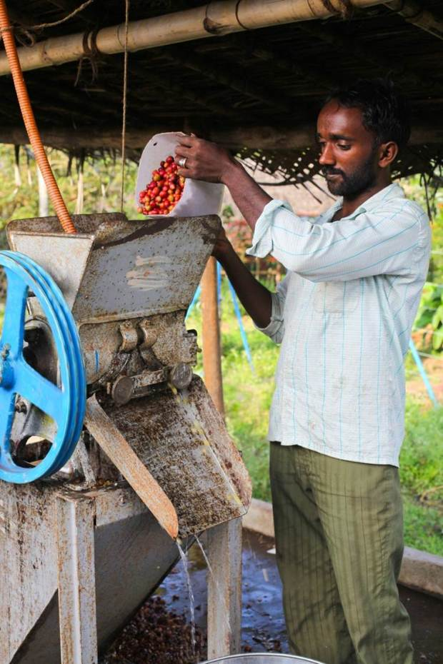 Cherries are then processed. The freshly harvested cherries are passed  through a pulping machine where the skin and pulp is separated from the bean.