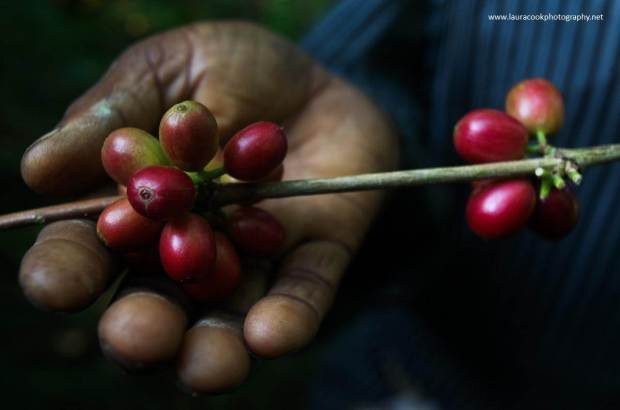Coffee starts life as these ripe, red coffee cherries. It takes approximately three or four years for the newly planted coffee trees to begin to bear fruit. The fruit, called the coffee cherry, turns a bright,  deep red when it is ripe and ready to be harvested.   Only the ripe cherries are harvested and they are picked  individually by hand.