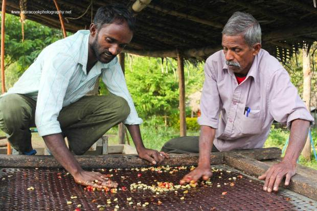 Coffee beans are then carefully sorted for size and quality before being laid out in the hot   Indian sun to dry.