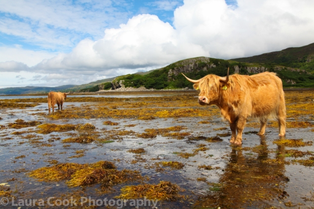 Highland cows plod slowly about without a care in the world (coastal road on the Isle of Mul).