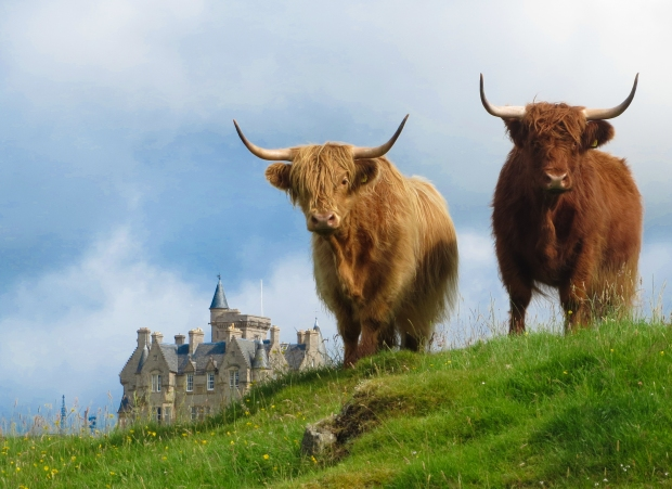 Highland Cows stand guard on the Isle of Mull, Scotland.